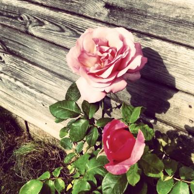 rose-997660